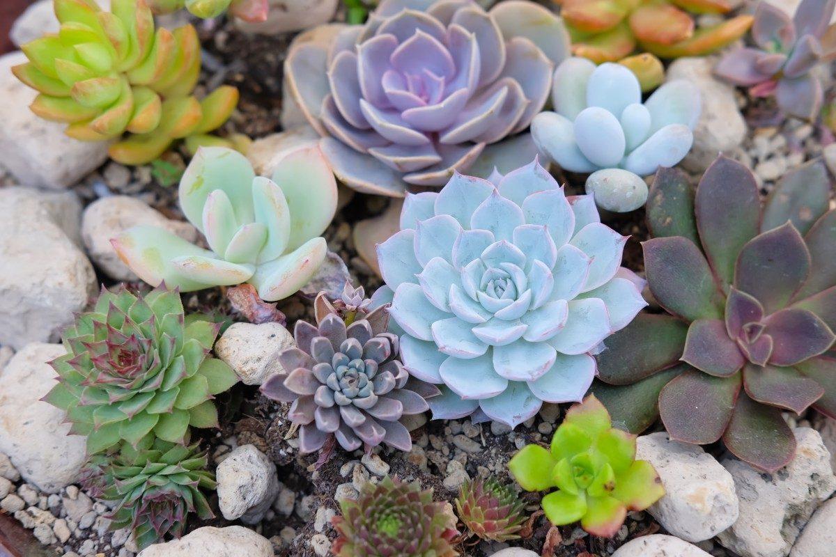 Hình ảnh các loại hoa sen đá đẹp