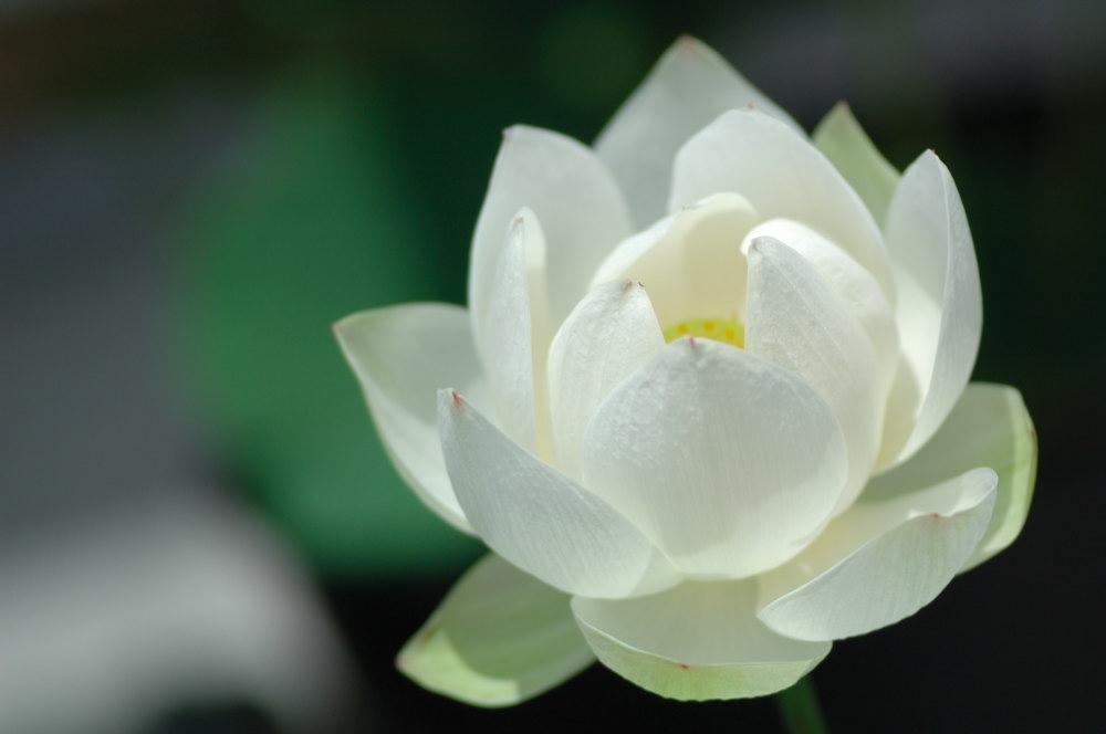 Ảnh bông hoa sen trắng
