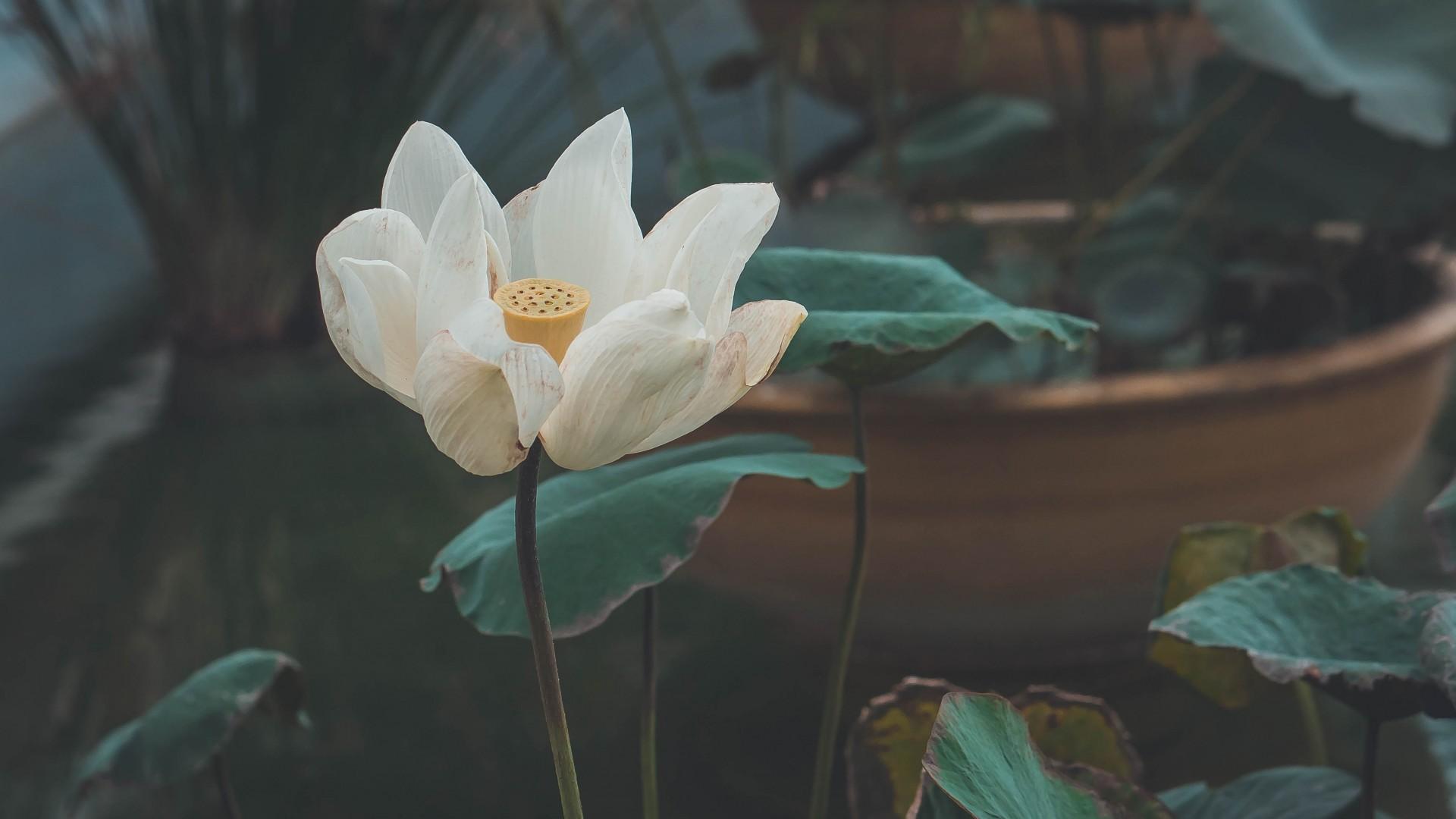 Ảnh đẹp bông hoa sen trắng