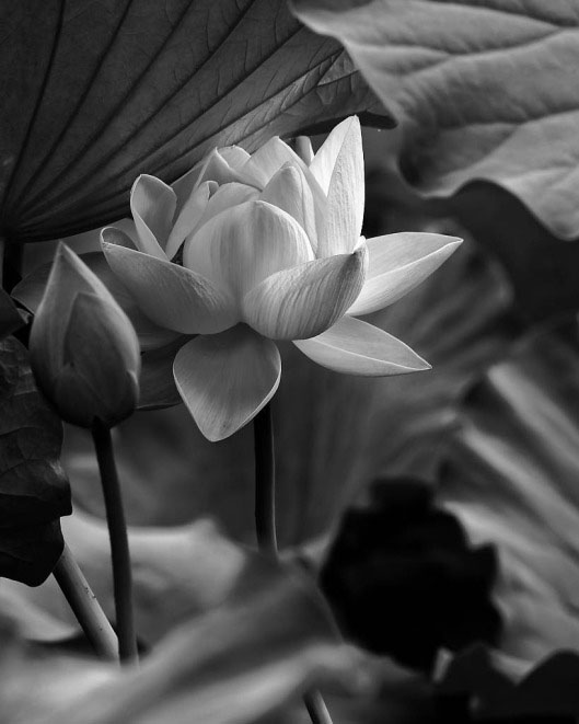 Ảnh đẹp hoa sen đen trắng