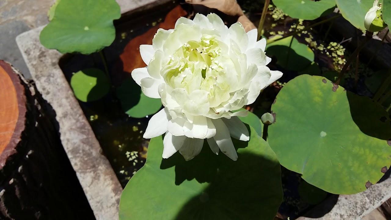 Ảnh đẹp hoa sen trắng nhiều cánh