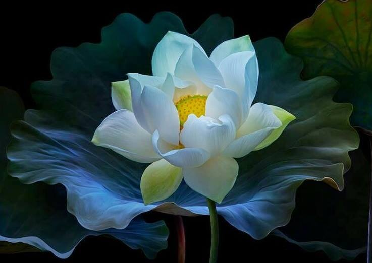 Ảnh đẹp hoa sen trắng