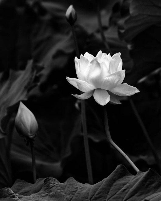 Ảnh hoa sen đen trắng đẹp