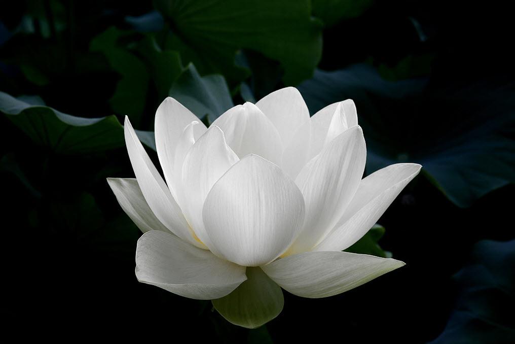 Ảnh hoa sen đen trắng