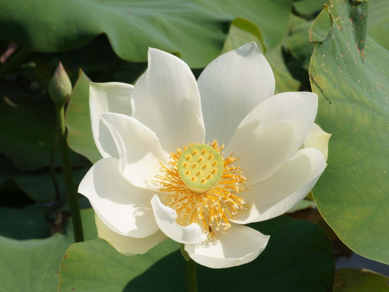 Ảnh hoa sen trắng đẹp