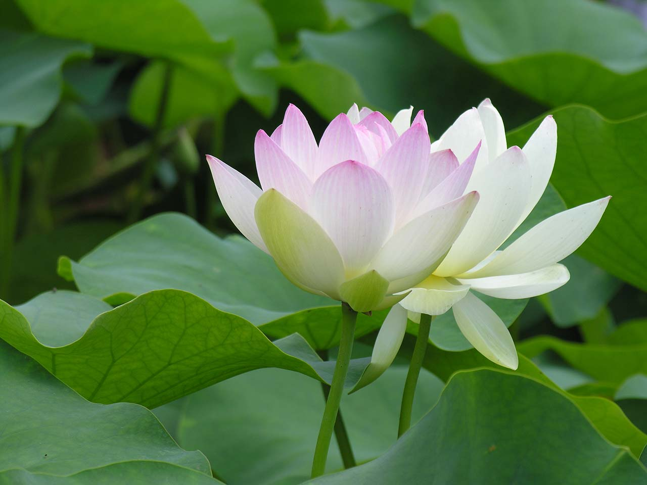 Ảnh hoa sen trắng hồng đẹp