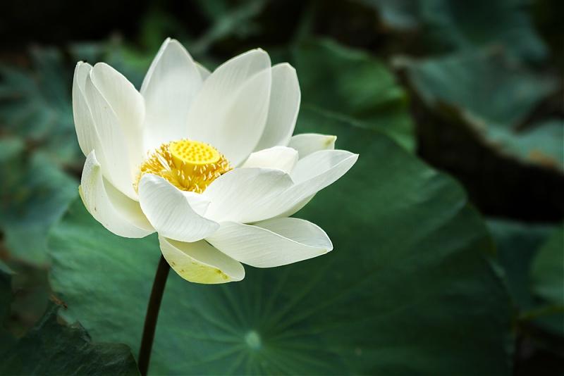 Ảnh hoa sen trắng nở đẹp