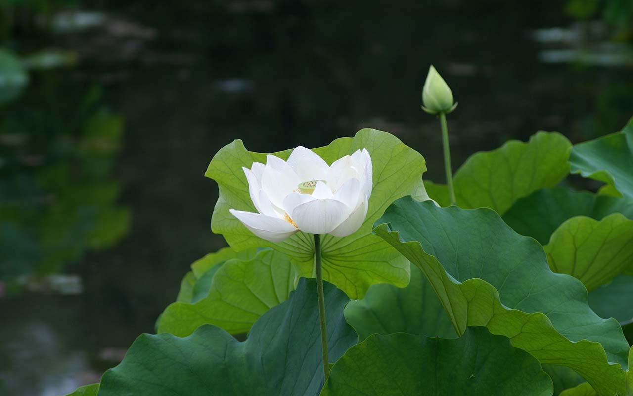 Ảnh hoa sen trắng