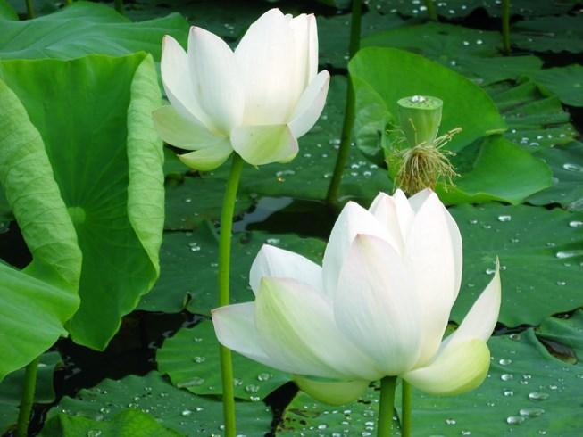 Hình ảnh đầm hoa sen trắng đẹp