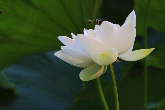 Hình ảnh đẹp hoa sen trắng và ong