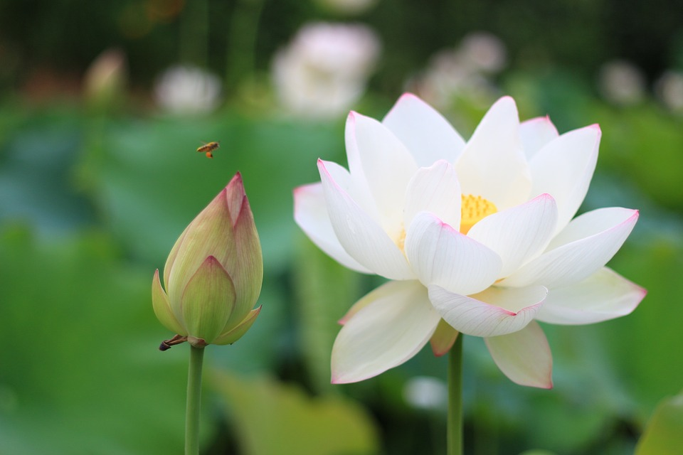 Hình ảnh đẹp hoa sen trắng