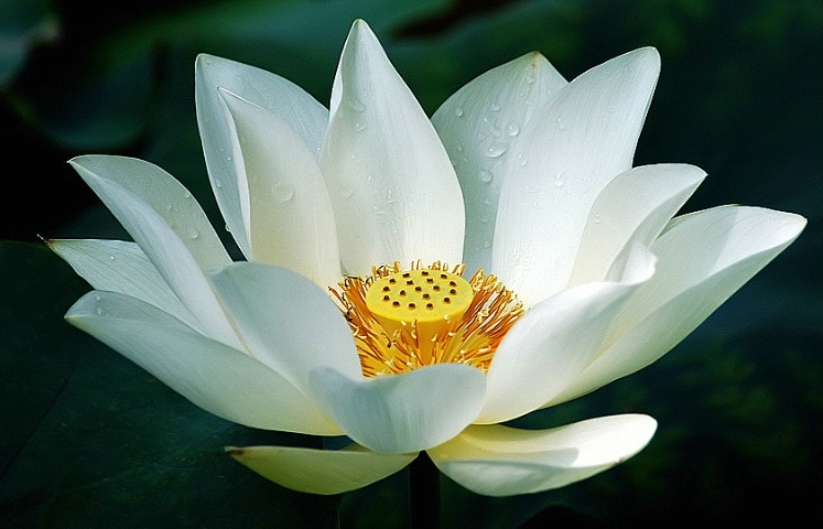 Hình ảnh đẹp về loài hoa sen trắng