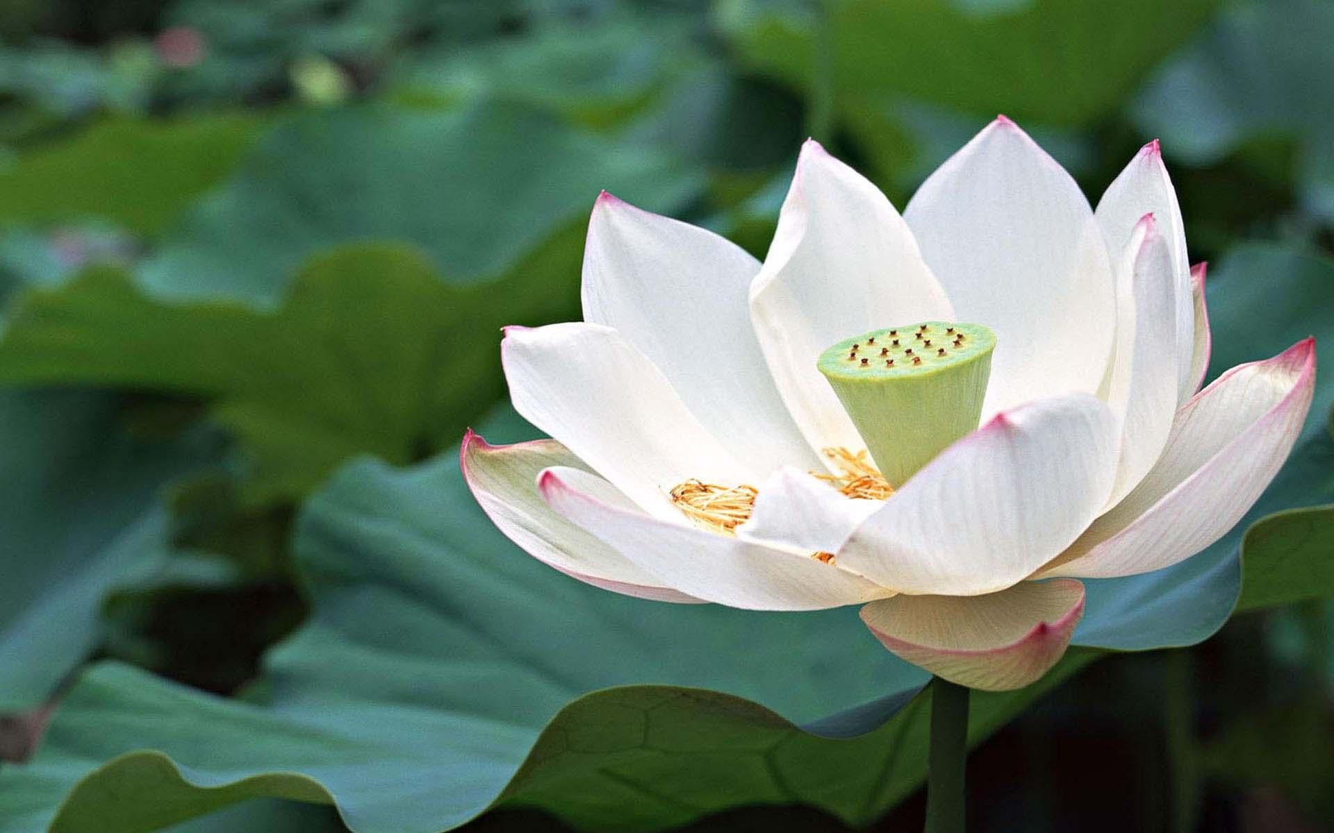 Hình ảnh đóa hoa sen đẹp nhất