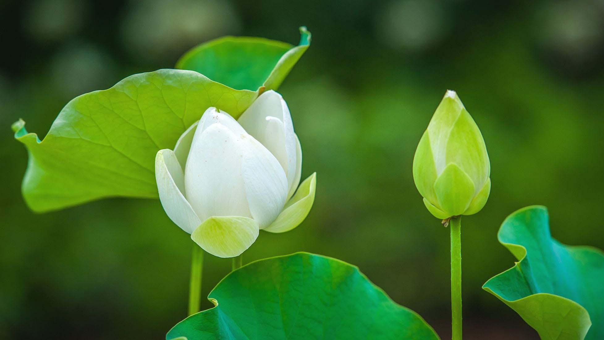 Hình ảnh hoa sen cực đẹp