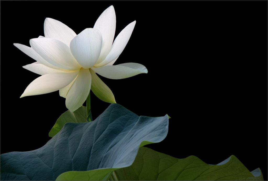 Hình ảnh hoa sen đen trắng