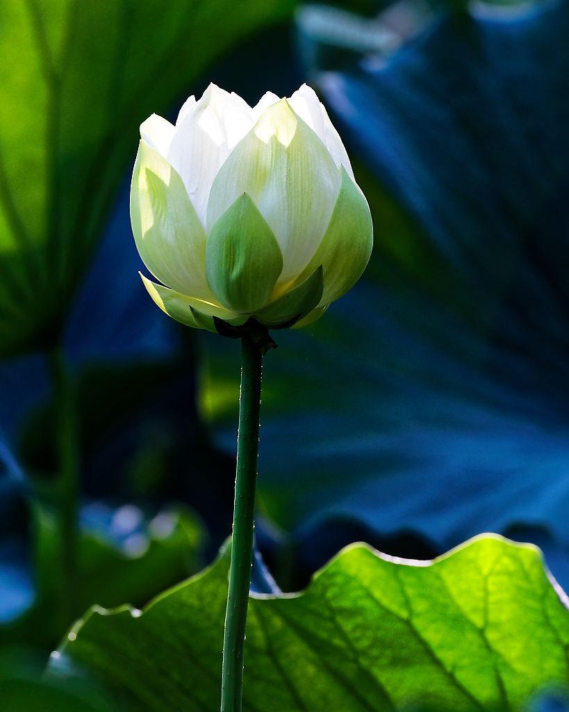 Hình ảnh hoa sen màu trắng đẹp