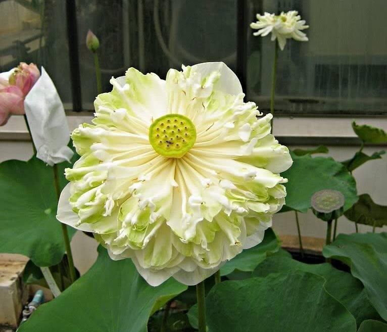 Hình ảnh hoa sen nhật trắng
