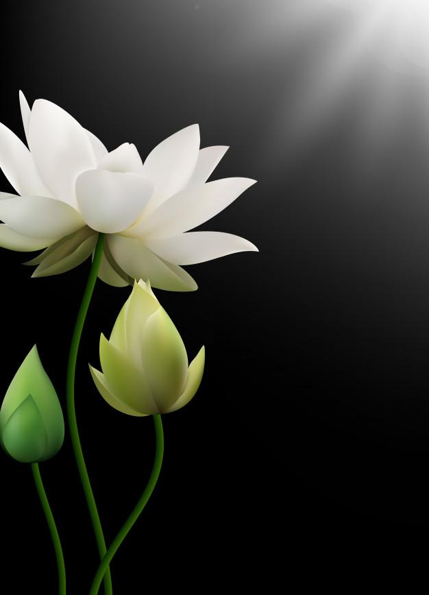 Hình ảnh hoa sen trắng 3d