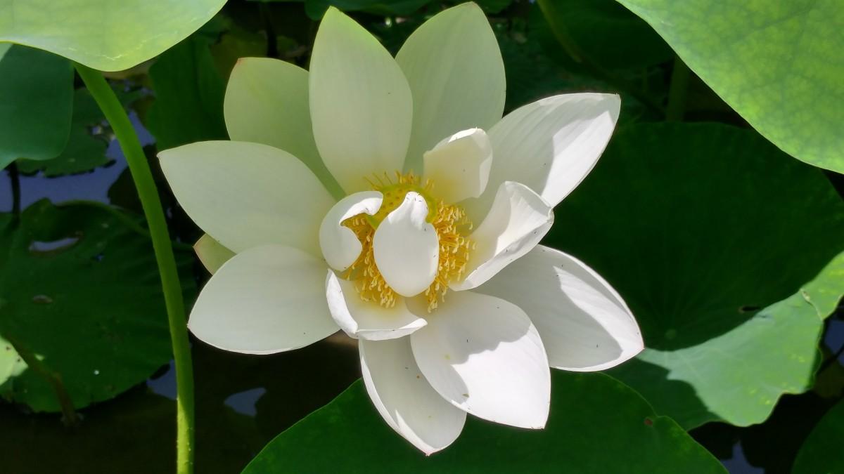 Hình ảnh hoa sen trắng cực đẹp