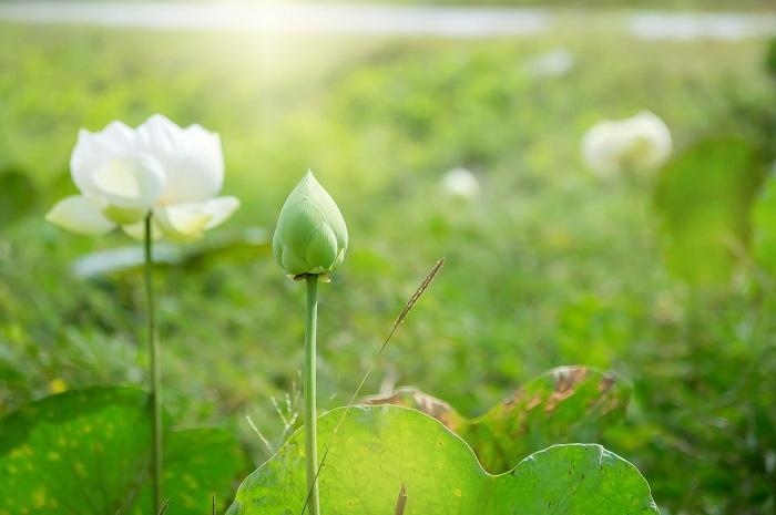 Hình ảnh hoa sen trắng đẹp trong nắng