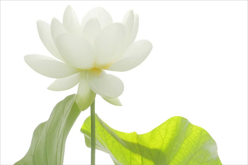 Hình ảnh hoa sen trắng đẹp và lạ