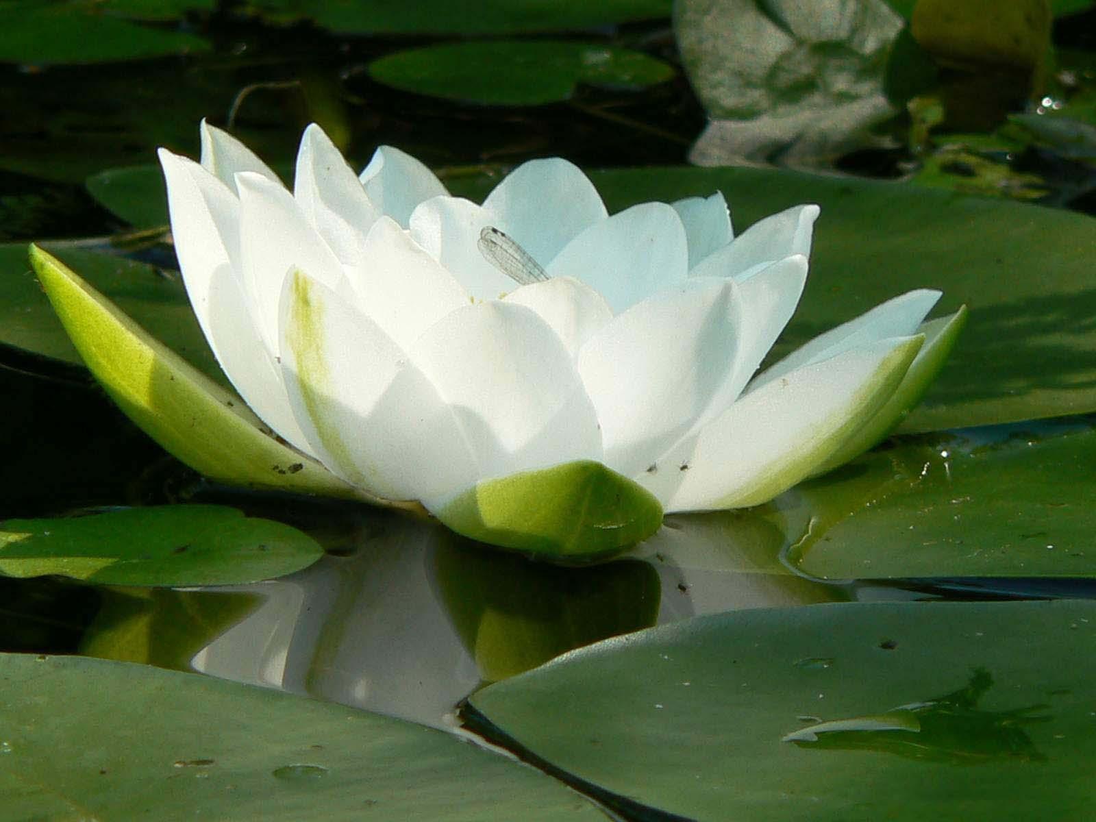 Hình ảnh hoa sen trắng trong đầm đẹp