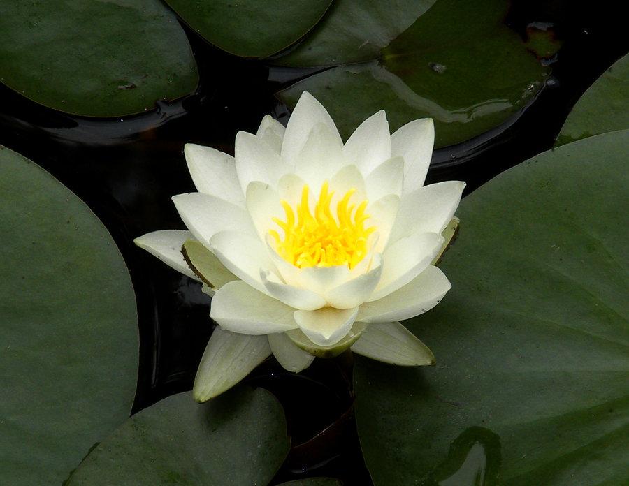 Hình ảnh hoa sen trắng trong đầm