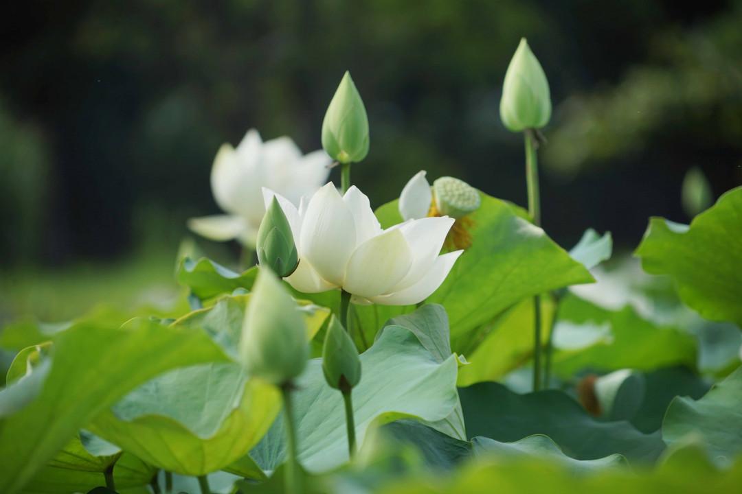 Hình ảnh những bông hoa sen trắng