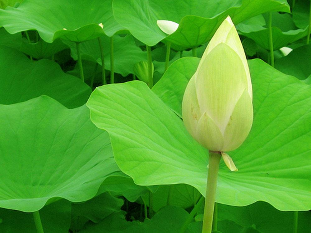 Hình ảnh nụ hoa sen trắng đẹp