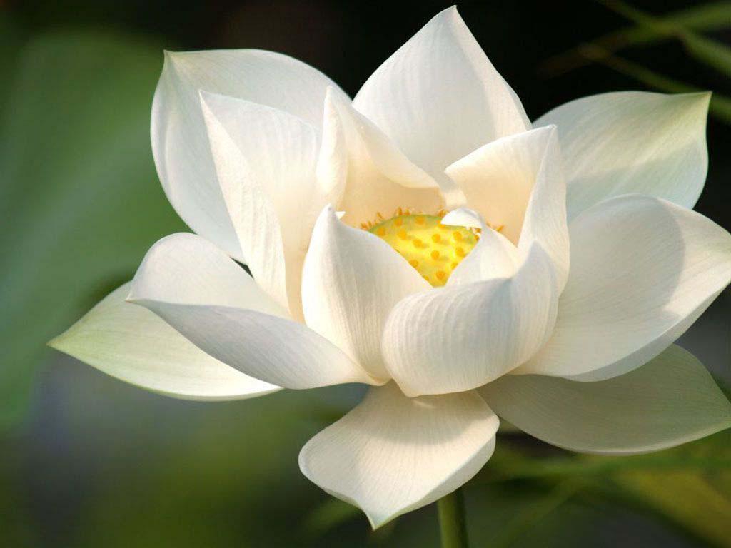Hình bông hoa sen trắng đẹp