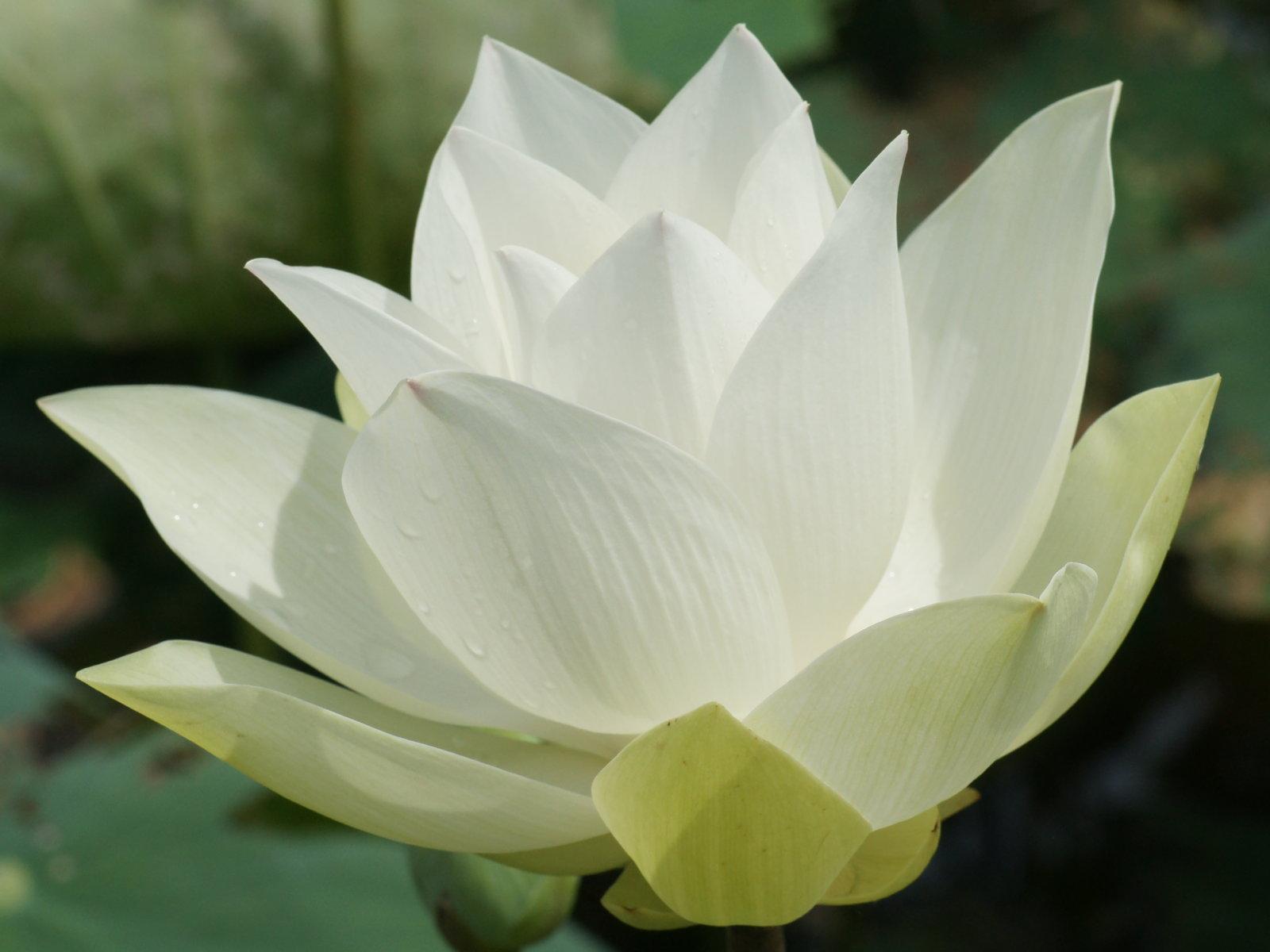 Hoa sen trắng đẹp nhất