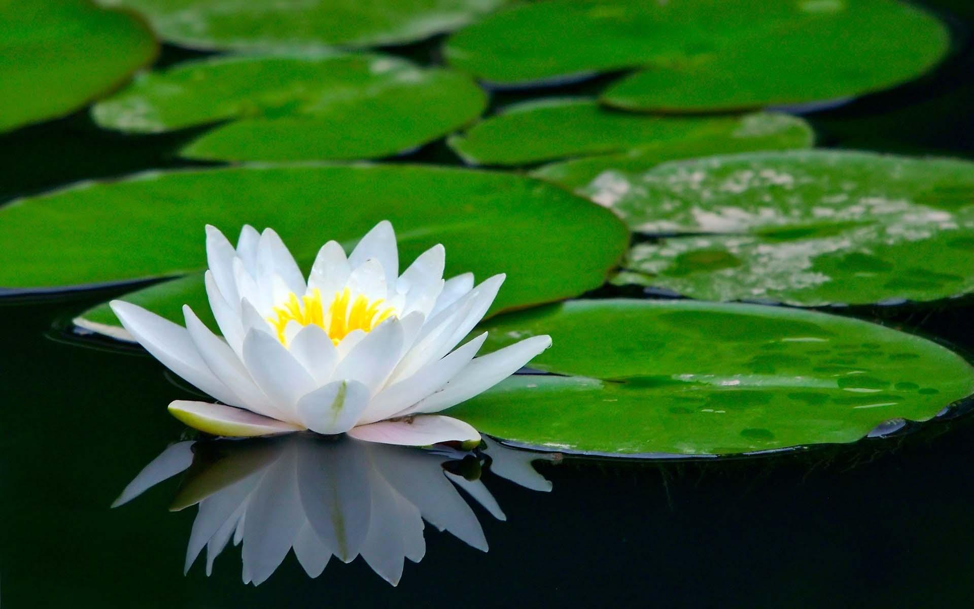 Những bông hoa sen trắng đẹp nhất