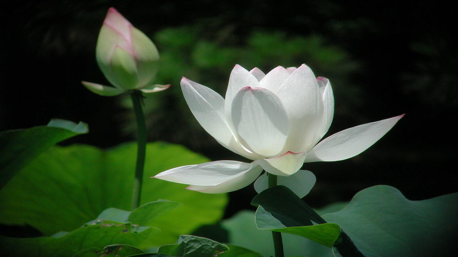 Những hình ảnh hoa sen trắng đẹp