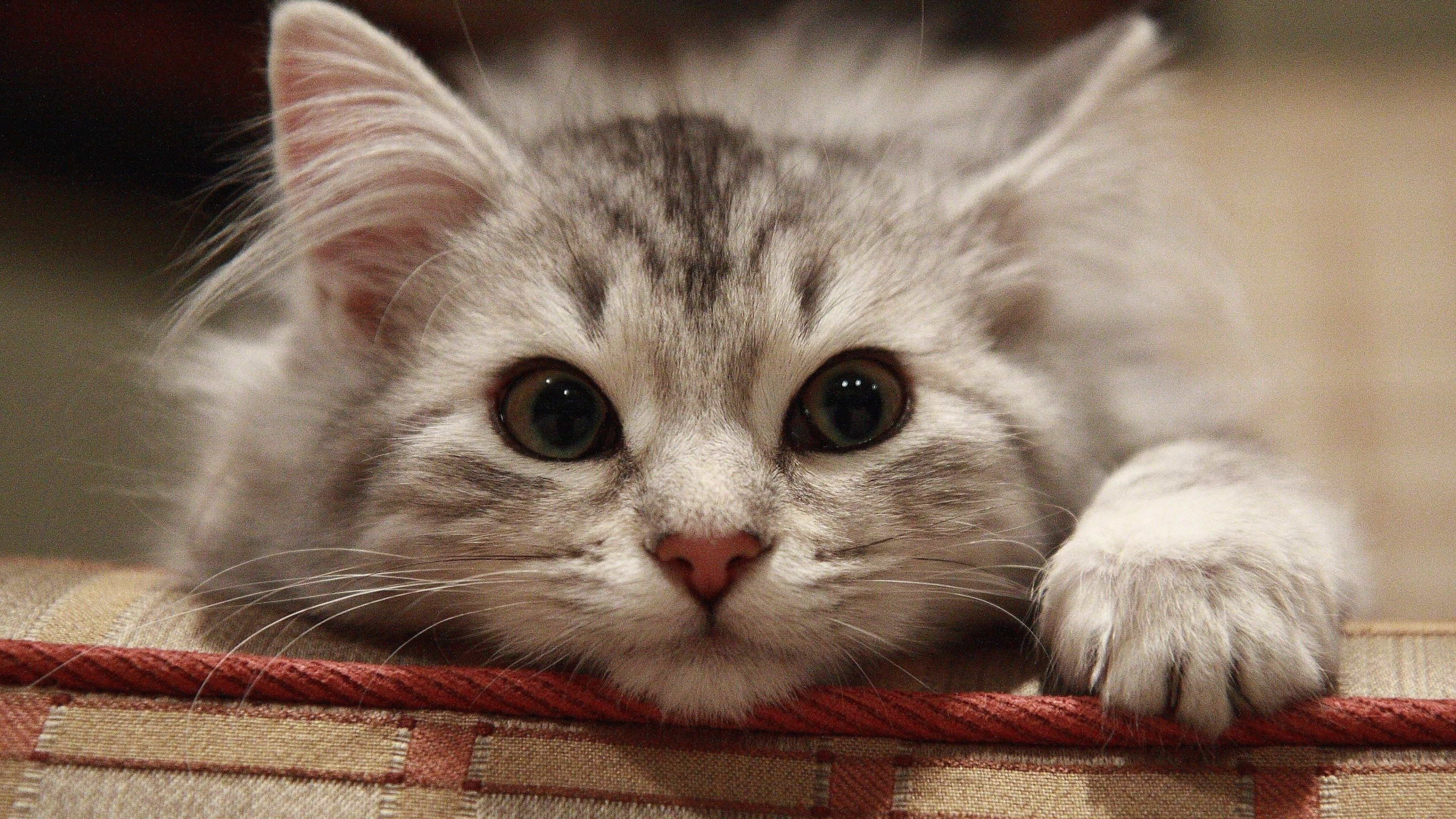 Hình nền máy tính mèo con dễ thương