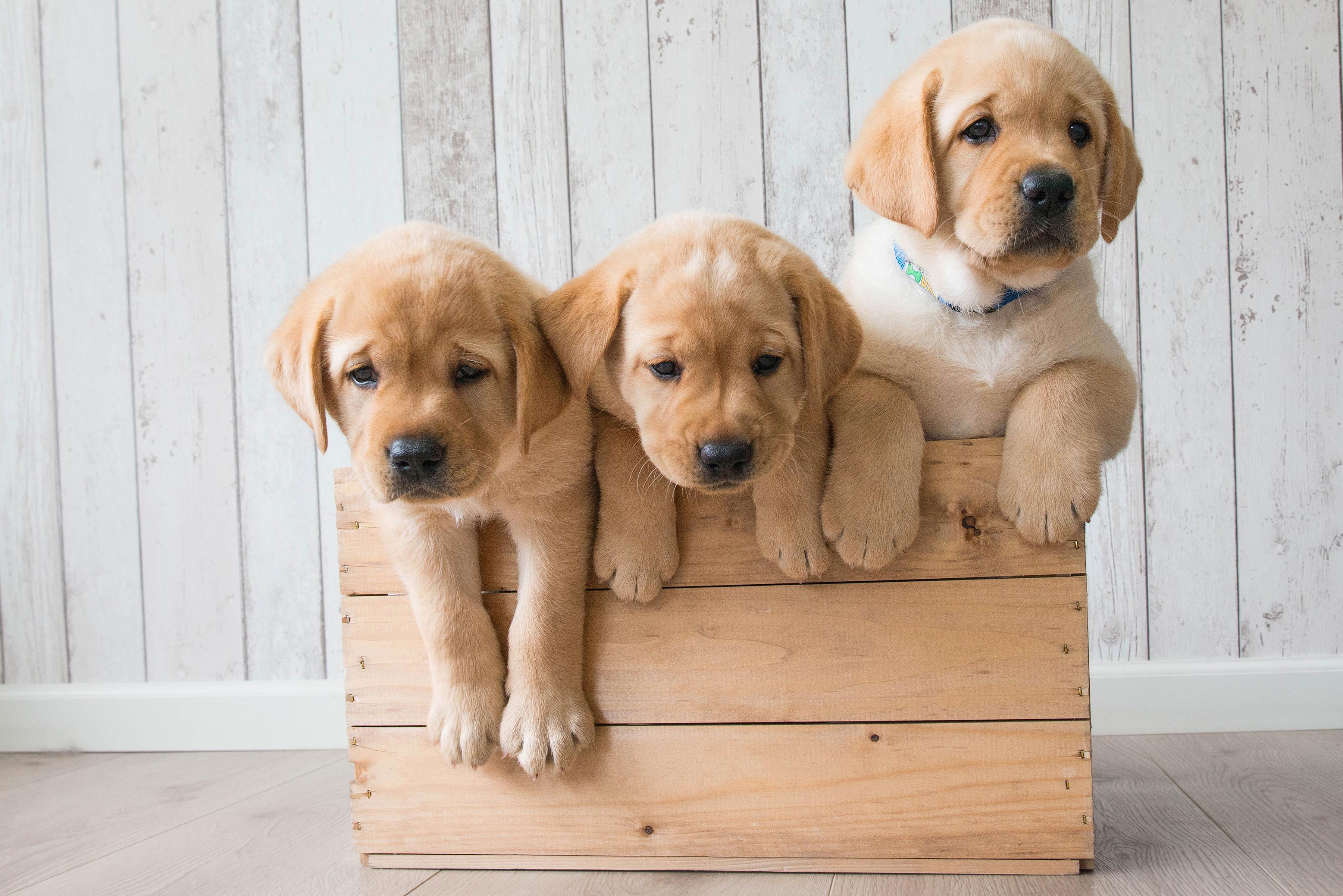 Hình nền máy tính những chú chó dễ thương