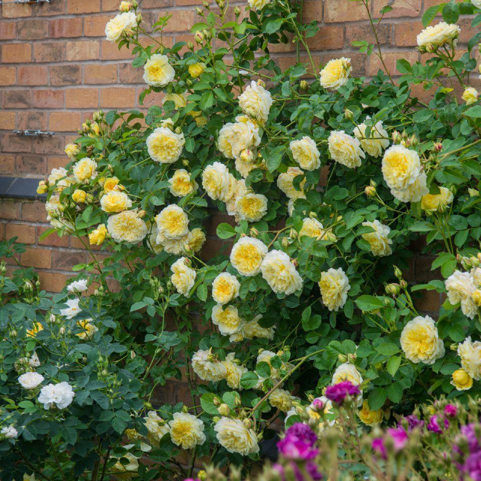 Cây hoa hồng cảnh leo tường đẹp