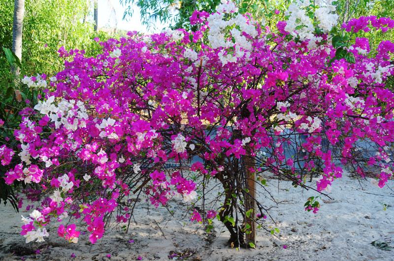 Hình ảnh cây hoa giấy cảnh đẹp