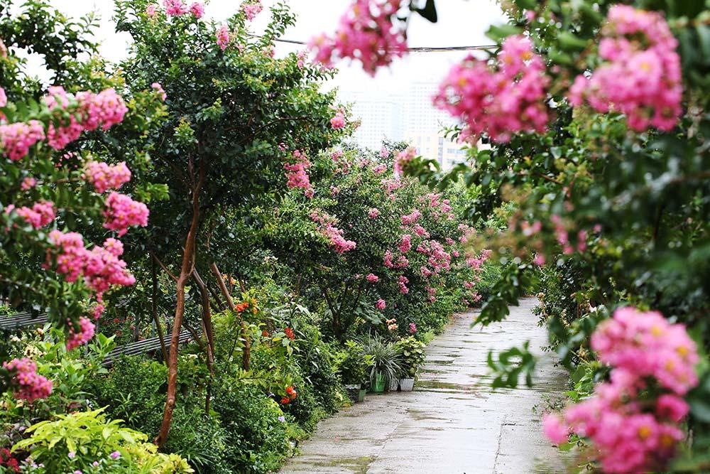 Hình ảnh cây hoa tường vi cảnh đẹp