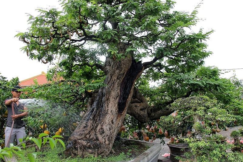 Hình ảnh cây me cảnh