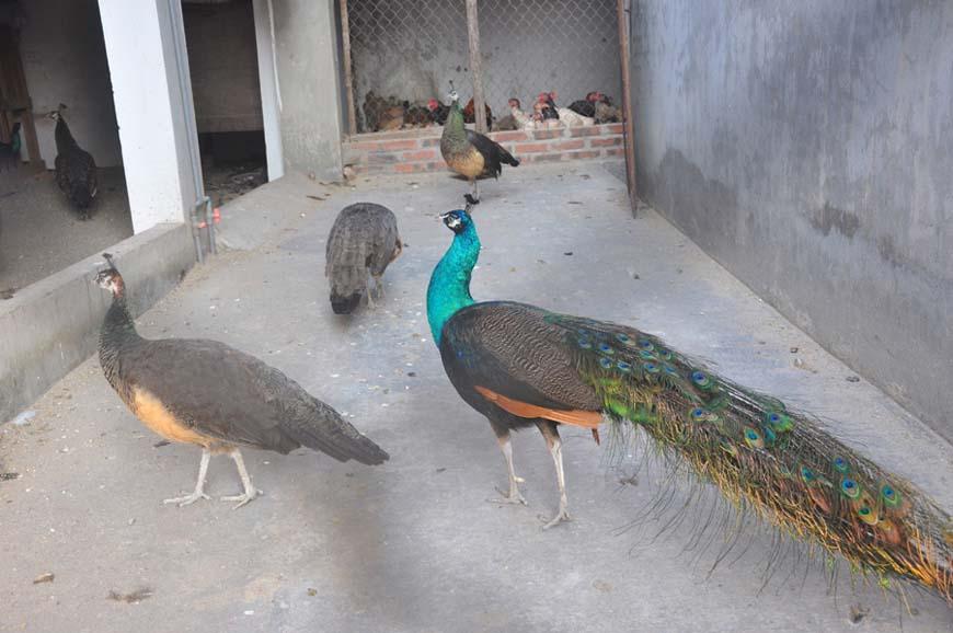 Hình ảnh chim công nuôi