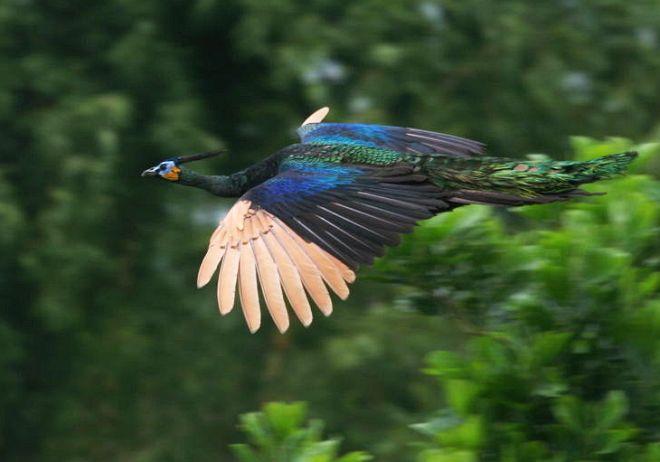Hình ảnh chim công tung cánh