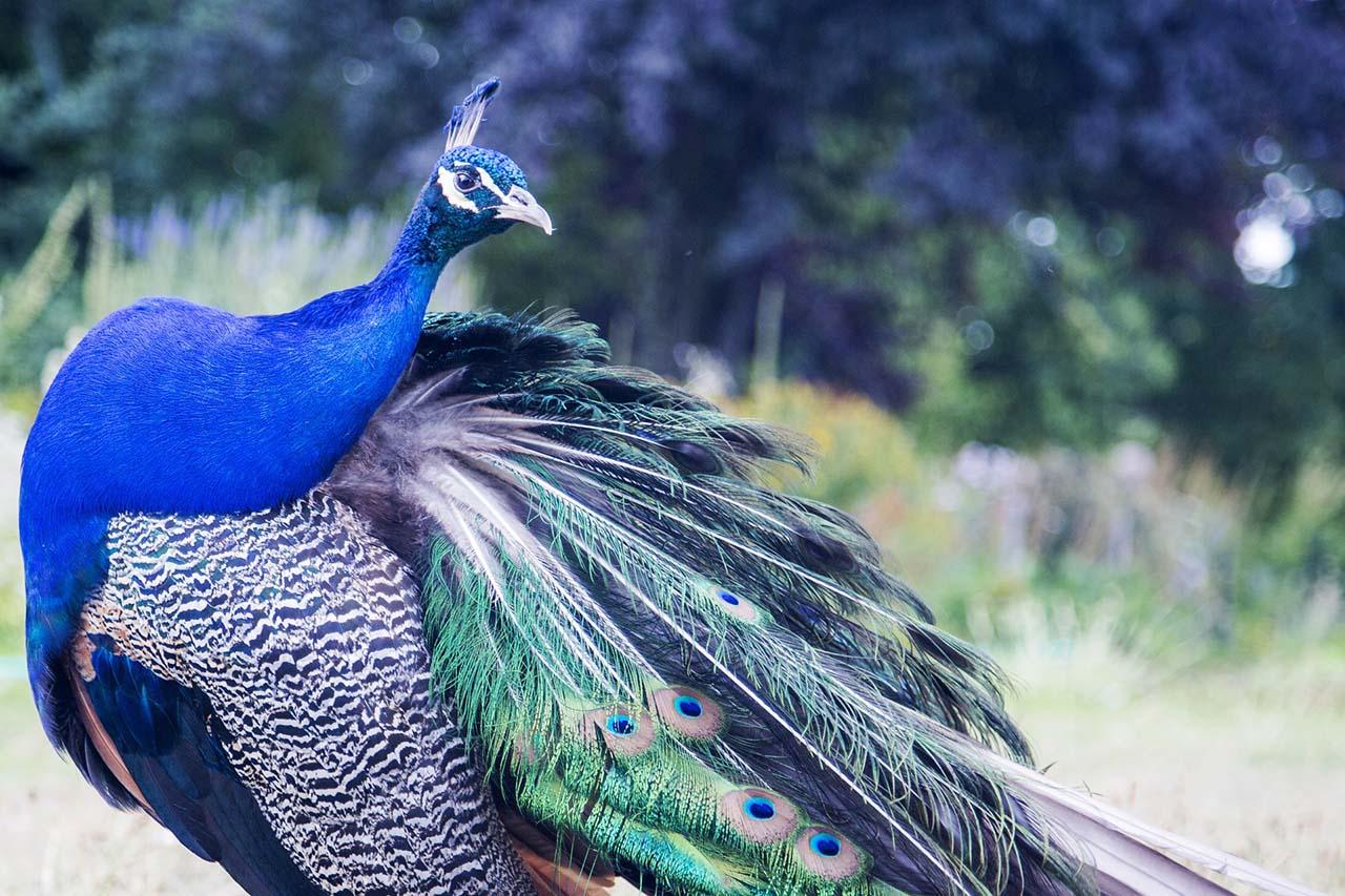 Hình ảnh chú chim công đẹp