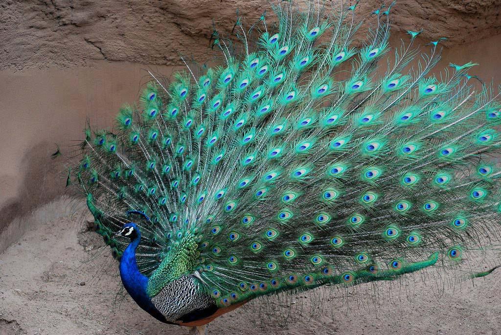 Hình ảnh con chim công đẹp nhất