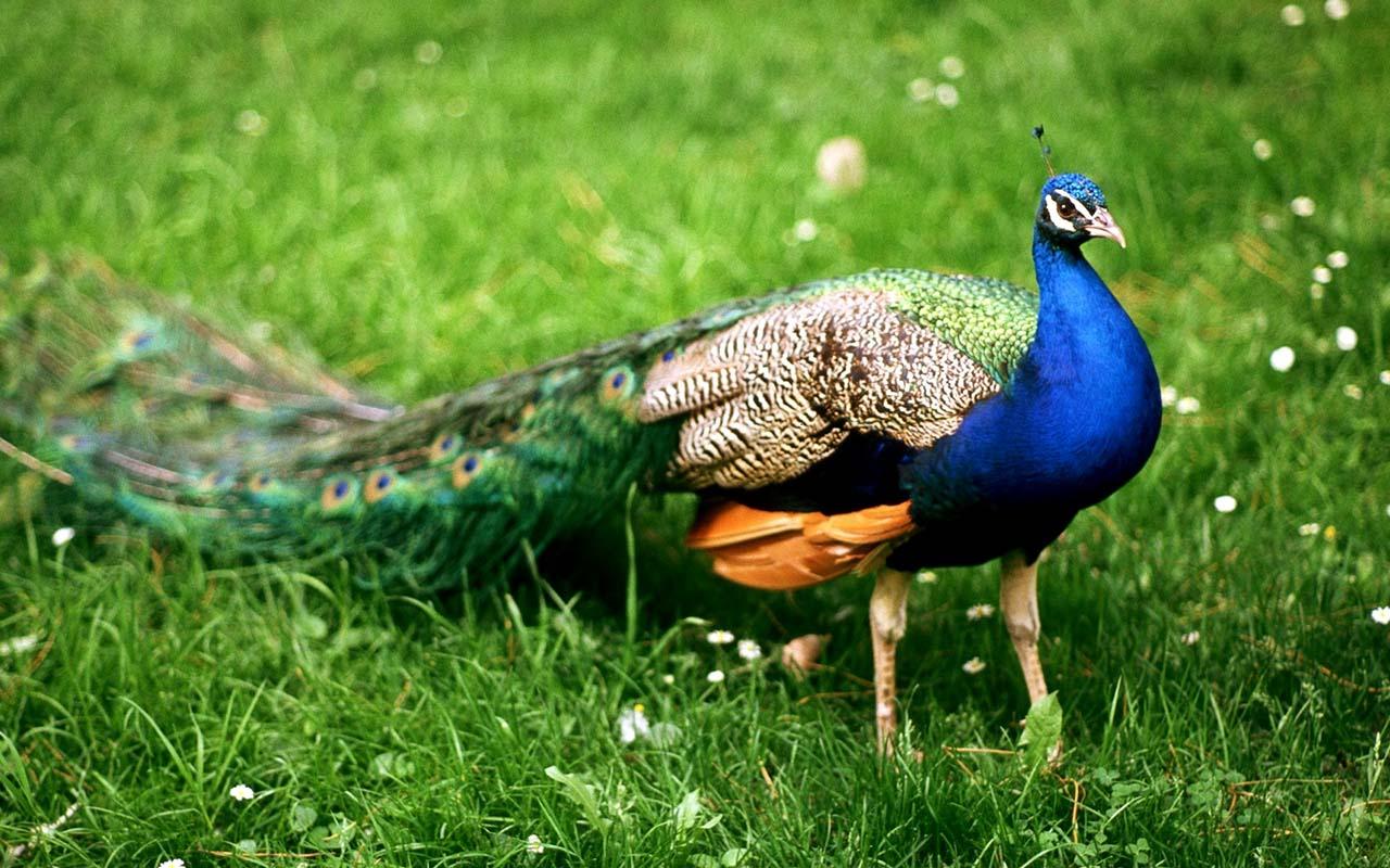 Hình ảnh con chim công đẹp