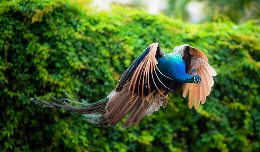 Hình ảnh con công đang bay đẹp nhất