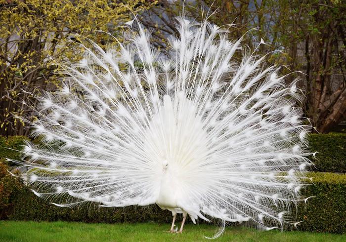 Hình ảnh con công trắng đẹp