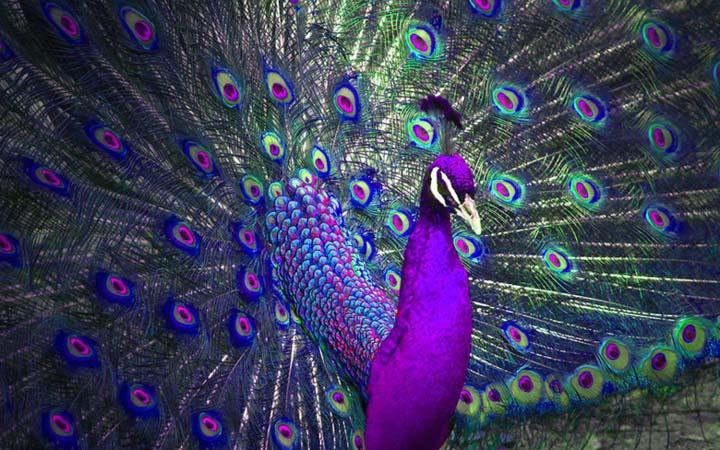 Hình ảnh đẹp con chim công