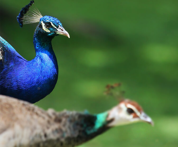 Hình ảnh đẹp về con chim công