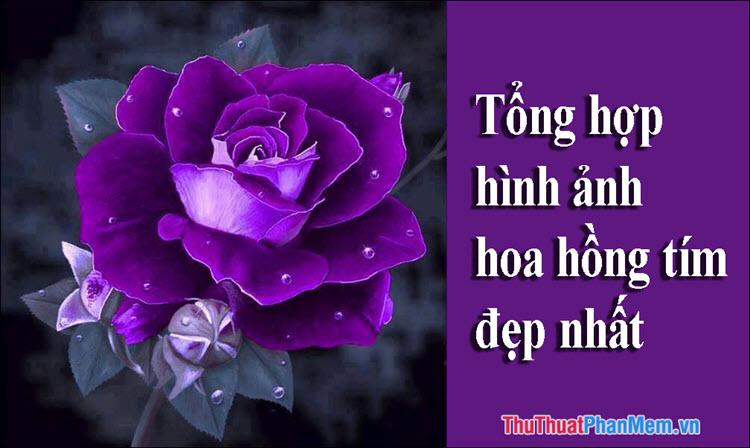 Hoa Hồng Tím - Tổng hợp những hình ảnh hoa Hồng Tím đẹp nhất