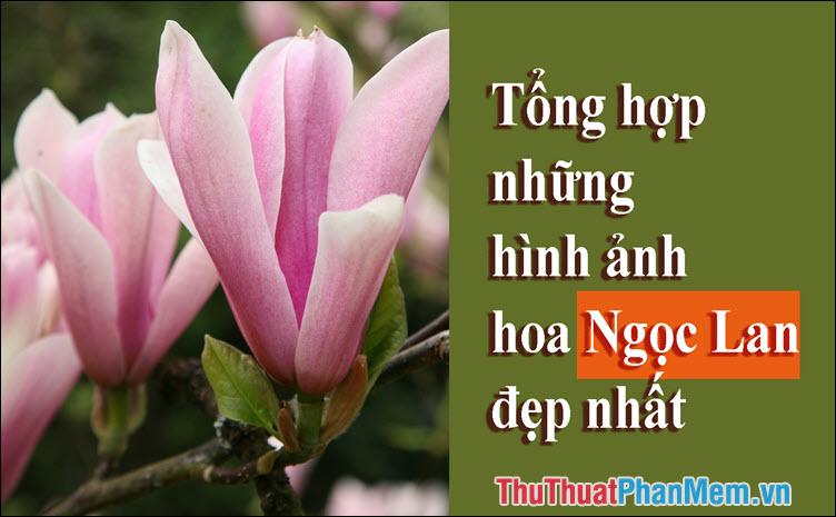 Hoa Ngọc Lan - Tổng hợp những hình ảnh hoa Ngọc Lan đẹp nhất